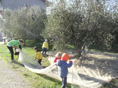 raccolta_olive_03